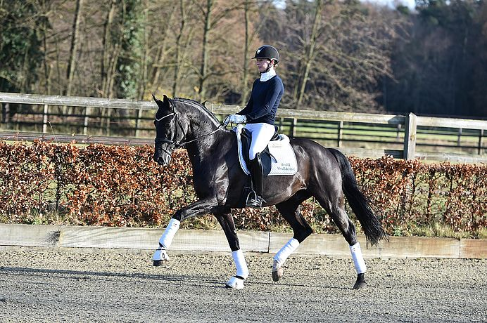 Prime example of the modern dressage horse